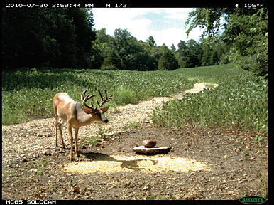 Any bowhunter would be thrilled to capture bucks such as these on a scouting camera. However, all trail camera images represent valuable data that can help guide management decisions by tracking individual bucks and monitoring the overall deer population on your hunting property from year to year.