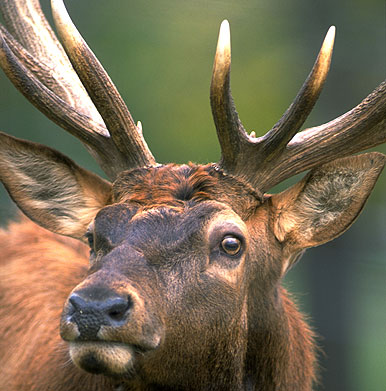 Your 5 Point Checklist for Field Judging Elk