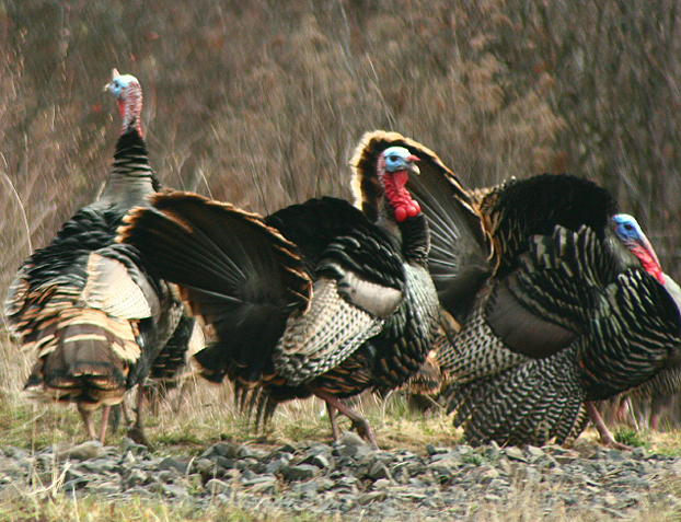 Bowhunting Turkey! 5 Steps To Arrowing A Boss Tom