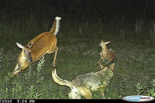 Whitetail Deer Population