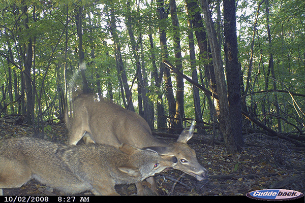 Why Predator Control Matters for Deer Populations