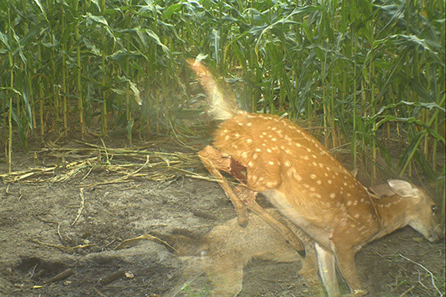 predator-control-and-whitetail-survival
