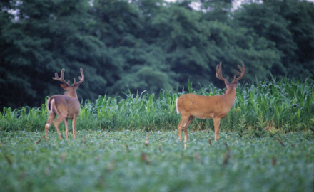 The plan is simple on the surface. You find a shooter buck during the summer, relocate him after he