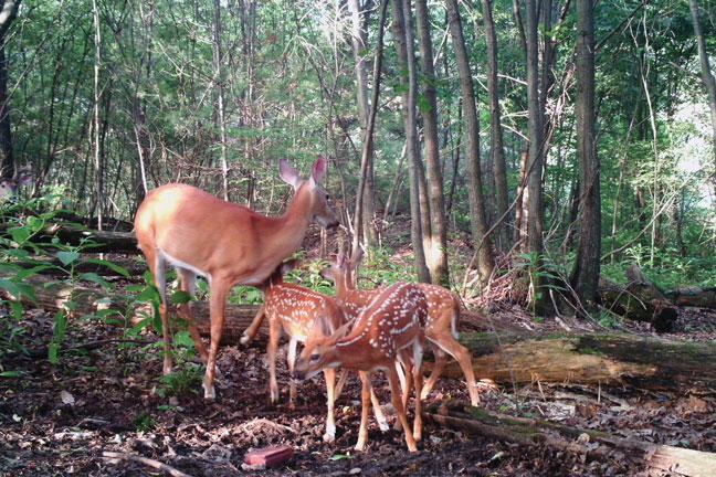 fawn-recruitment-and-deer-decline