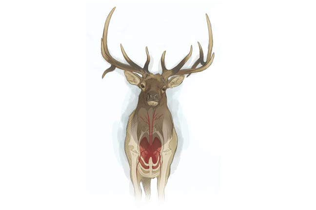 bowhunting-elk-frontal-shot
