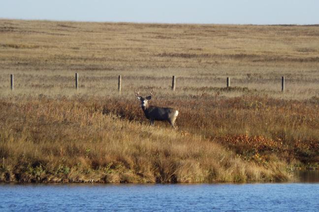 Prairie-Mule-Deer