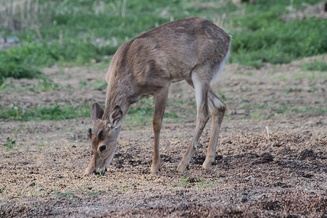 whitetail deer eating