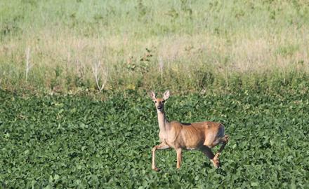Whitetail deer in field