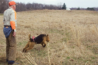 The Hunting Airedale