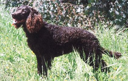 The American Water Spaniel