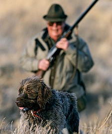 A look at the Wirehaired Pointing Griffon.