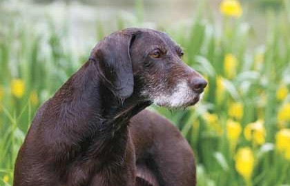 Thinking of working an older dog? Here's what you need to know.