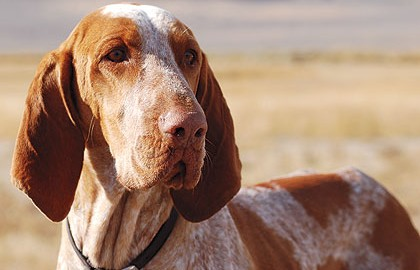 The Bracco Italiano is a short-tailed hound that also points.