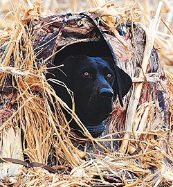 By Ryan Hamre    Concealing your hunting retriever in a cut field can be problematic.