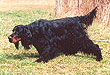 Gunshyness in Gun Dogs: Pointing Breeds