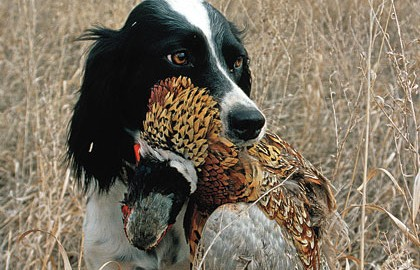 Pointers can become great pheasant dogs, but it won't happen overnight.