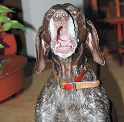 Silencing Your Gun Dog With Today's Anti-Bark Collars