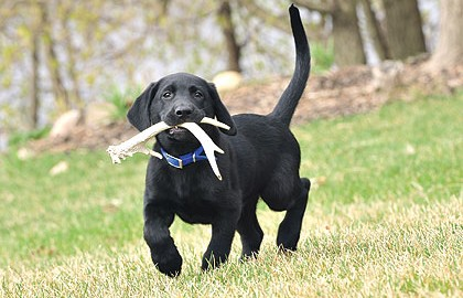 Finding and retrieving shed deer antlers is a fun off-season activity for you and your dog.