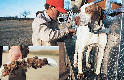 If It Sticks Or Pricks, Chances Are It'll Find Its Way On To Your Gun Dog