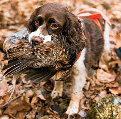 With gun dogs there is value, and then there is value.