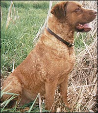 "Strong-willed and not glamorous, a Chessie is a good dog to have in the blind if you're willing to accept him ""as is"""