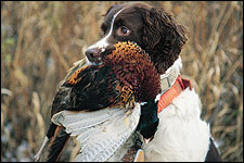 By John McGonigle    A well-bred spaniel will learn tracking fairly quickly, but it