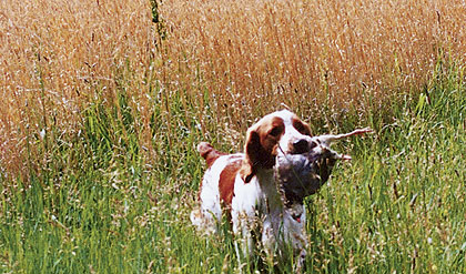 At A Glance, The Welsh Springer Spaniel May Look Like A Brittany, But The Welshie Is Definitely Its Own Dog