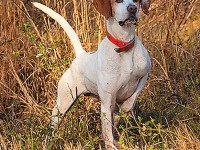 Pointers have long set the gold standard for pointing dog performance in North America.