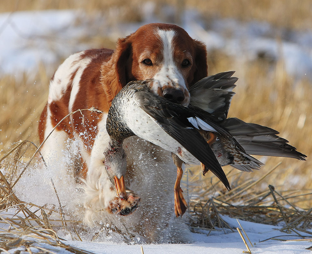 Hunting Dogs For Sale In Scotland