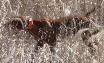 Gun Dog editors hunt behind pointing dogs in Iowa.