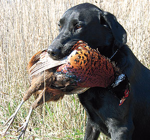 Oregon: Dog training with live birds permitted