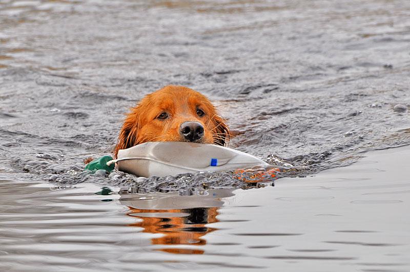 Pre-Hunt Gun Dog Training