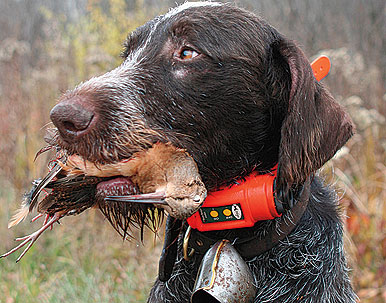 Health Care Tips for Older Gun Dogs