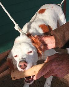 Forced Retrieve Dog Training