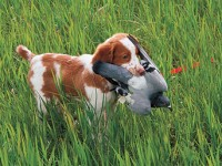 Don't get upset if your young gun dog puppy traps or grabs a bird. It's bound to happen sooner or later, and it doesn't mean he won't develop his pointing instinct.