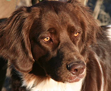 Gun Dog Breeds: Drentsche Patrijshond - Rarest Pointing Dog Breed In America?