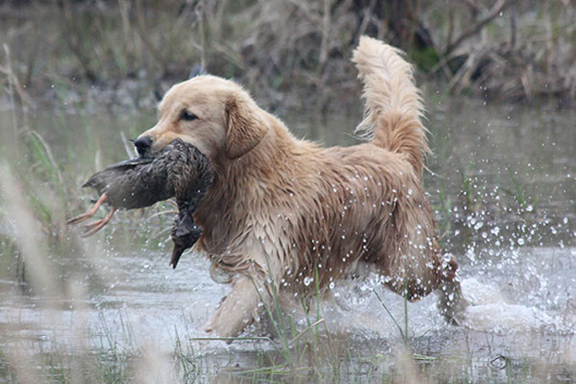 Warm Weather Retriever Training