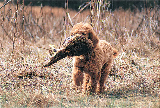 Gun Dog Breeds: Standard Poodle