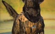 Black Lab in Dokken vest