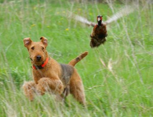 Airedale and pheasant