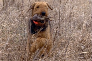Airedale retrieving