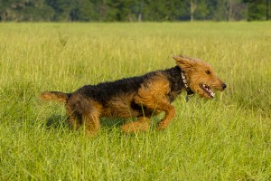 Airedale running