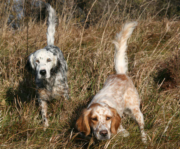 Breed Profile: The Llewellin Setter