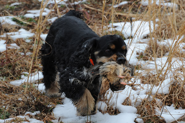 Training Spaniels to Hunt Hunting Tests For Spaniels