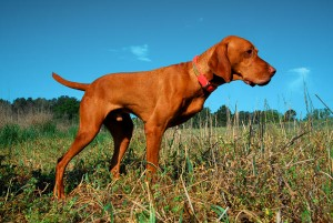 Vizsla with only three dogs on point