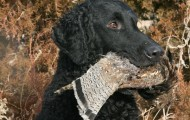 Curly-coated-retriever_001