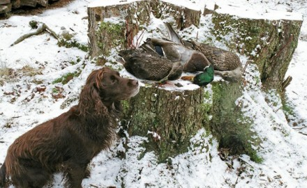 Using your spaniel for jump shooting ducks is a good way to supplement your upland game bag. My