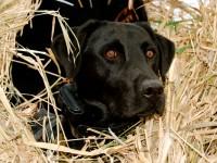 Dog-in-blind_001