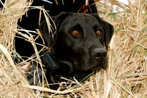 Dog-in-blind_001