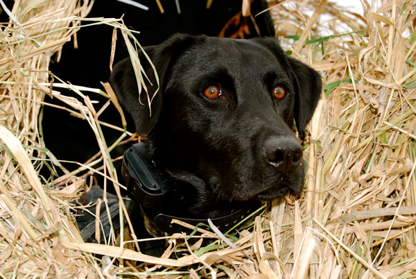 How To Keep Your Dog Hidden In The Field Gun Magazine
